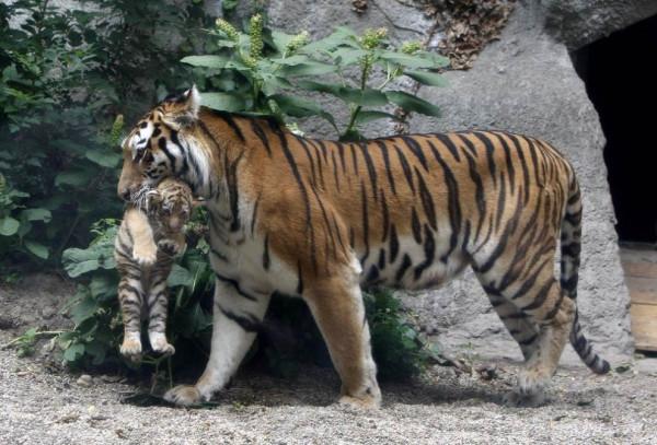 прикол тигренок у зебры