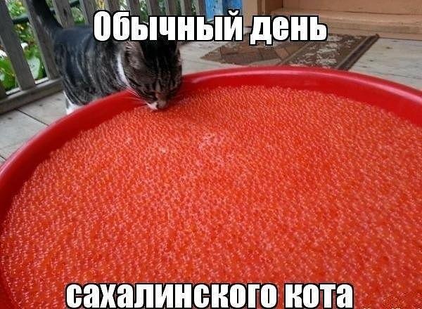 прикол день сахалинского кота