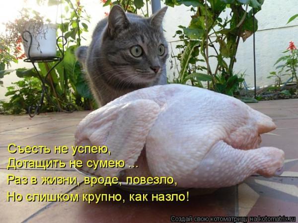 прикол кот курица