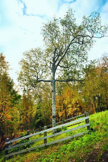 Голгофо-распятский скит на о.Анзер (Соловки), береза выросшая в виде Креста