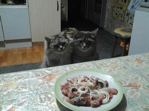 _коты и селедка