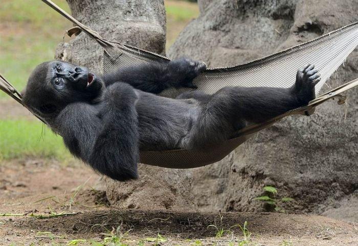 _прикол горилла