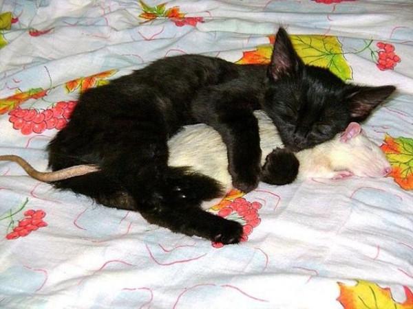 _прикол кот с крысой