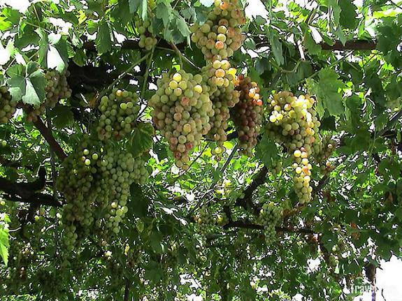 вяз и виноград