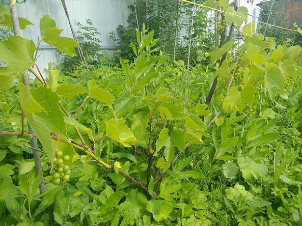 виноград июль 1