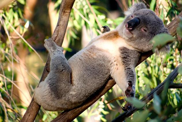 прикол коала