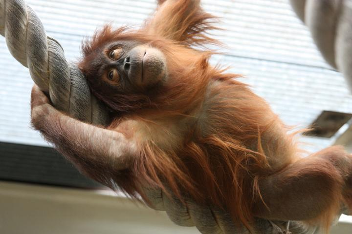 прикол орангутанг