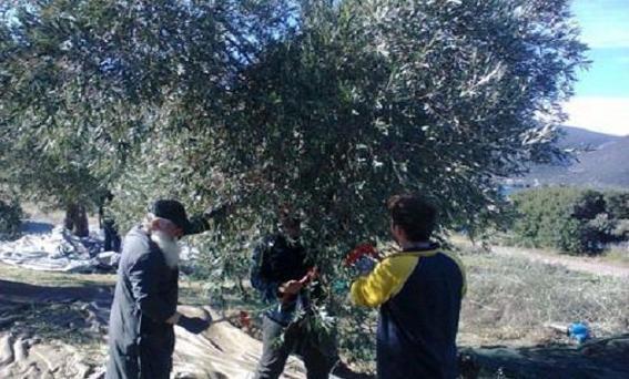 сбор оливок для помощи всем нуждающимся, в котором лично принимал участие митрополит Фивский Георгий