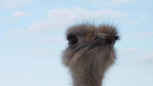 страус 1