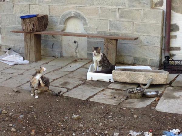 братство Старого Русика состоит из двух породистых котов