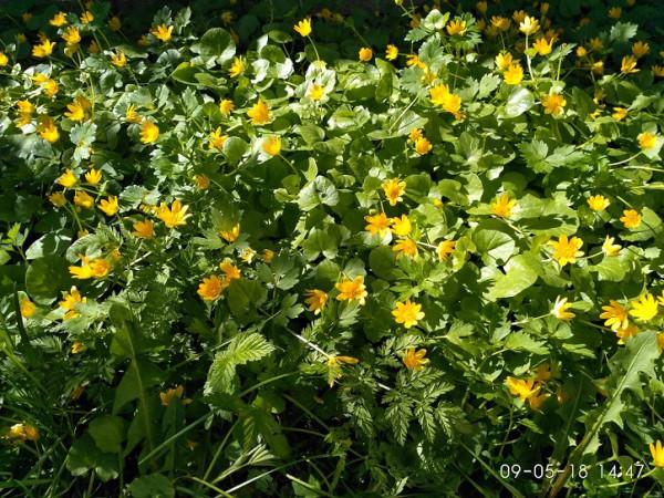 шаховская желтые цветочки