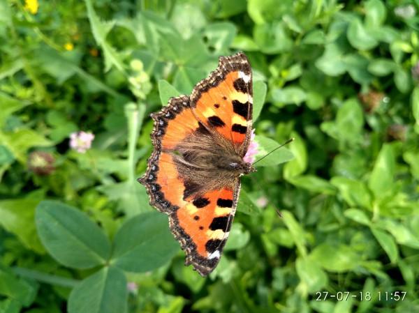 бабочка шоколадница 2