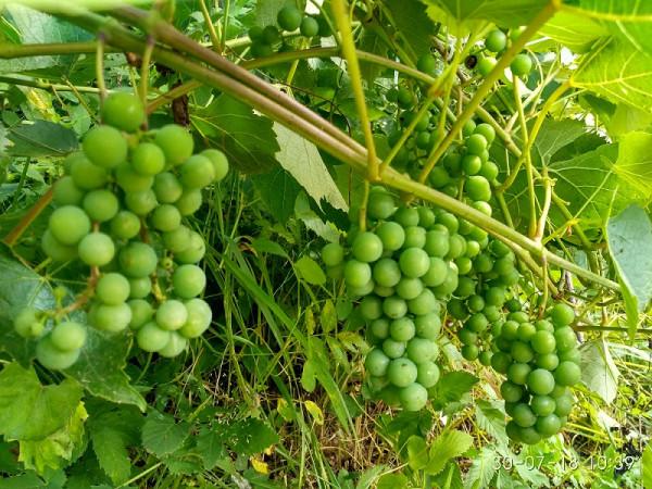 виноград 1