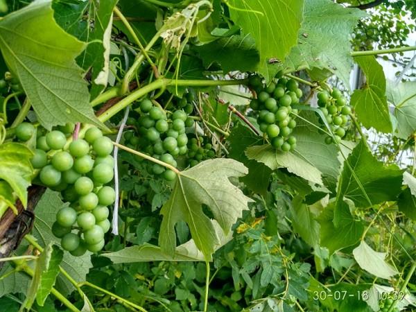 виноград 2