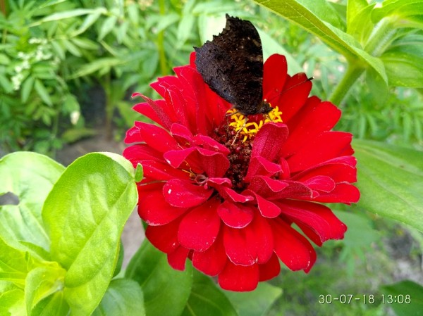 бабочка на красном