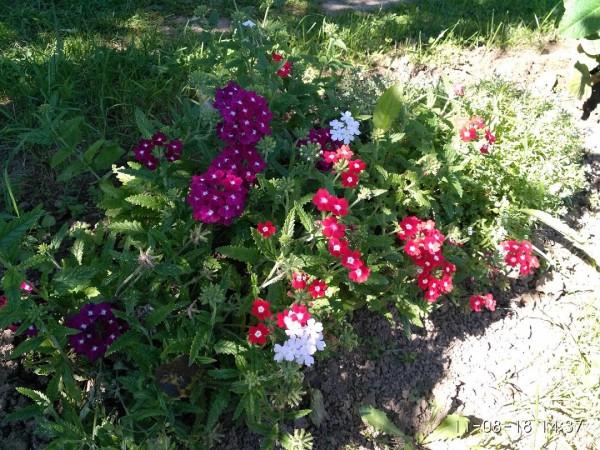 _дача цветы 1