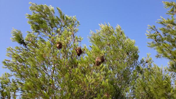 _ глифада дерево с гнездами