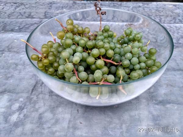 виногдар урожай
