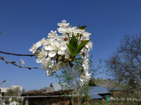 _цветет вишня