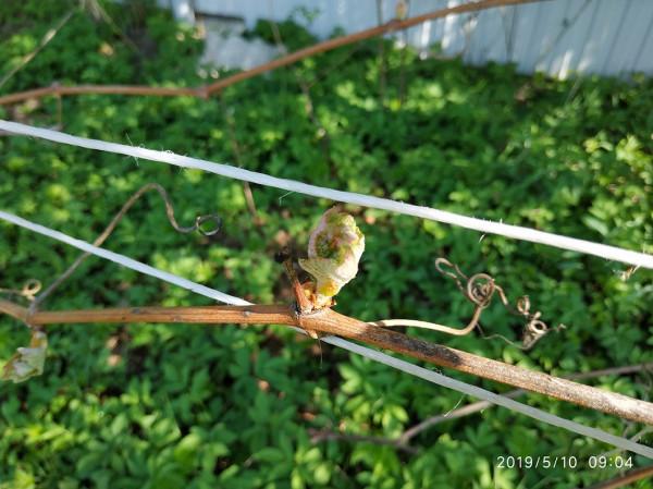 _, почка виноград