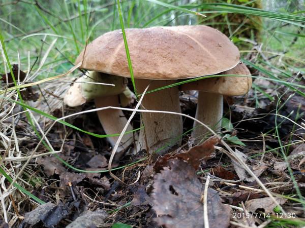 _грибы 8