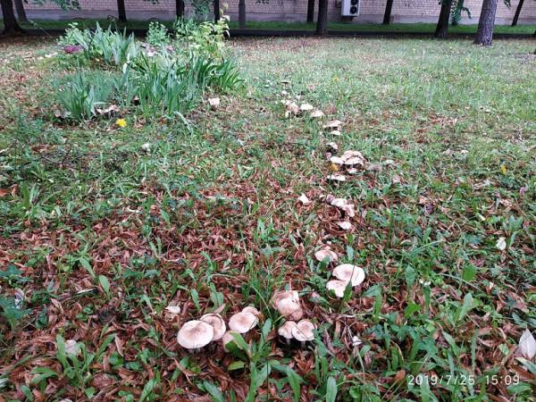 нияу ми фи грибы