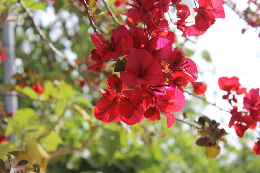 дерево_с_красными_цветами