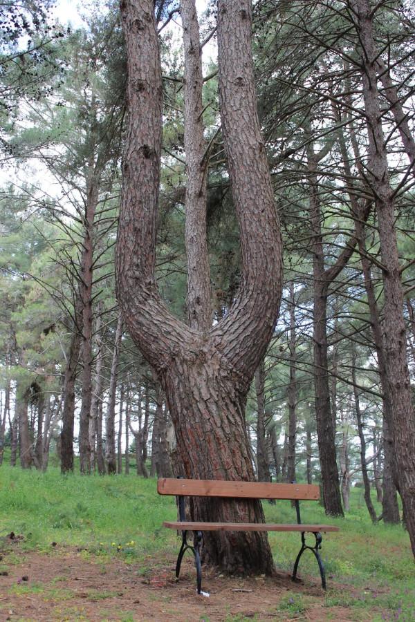 Бохали_крепость_дерево_лира
