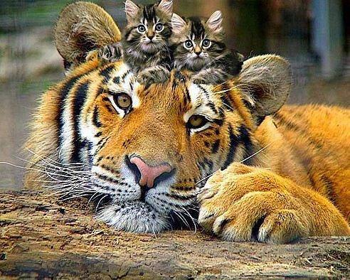 тигр_с_котятами