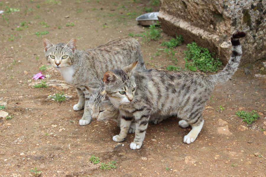 анафронитас_коты