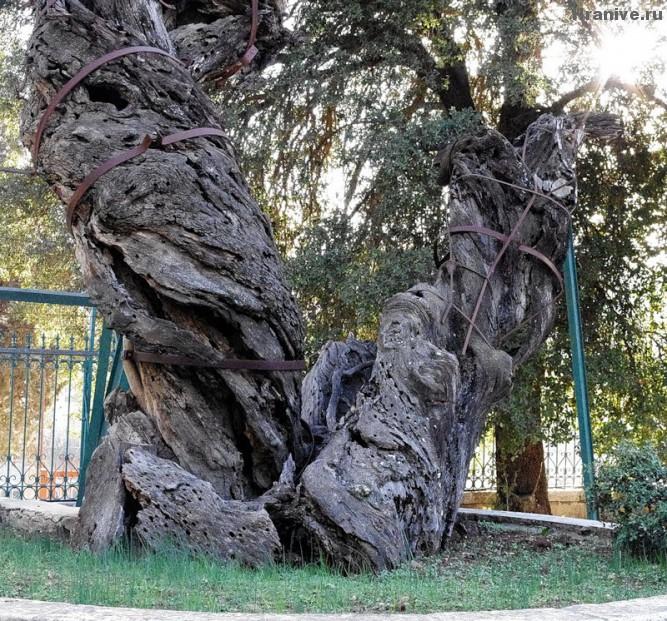 Дуб Авраама Мамврийский дуб в Хевроне