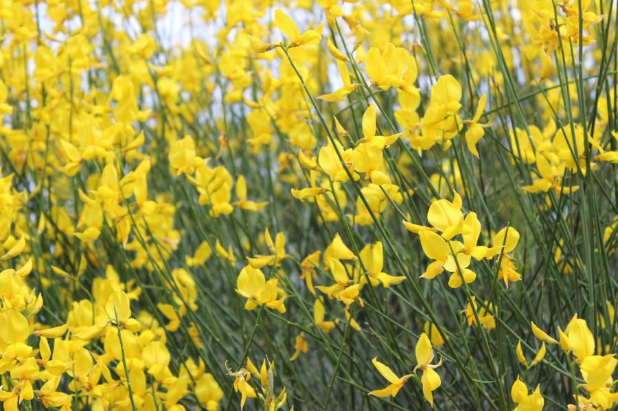 на_калаврита_желтые_цветы