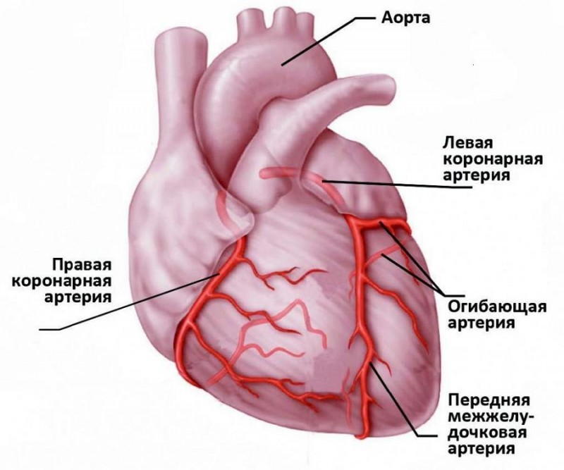 Схема кровоснабжения сердца