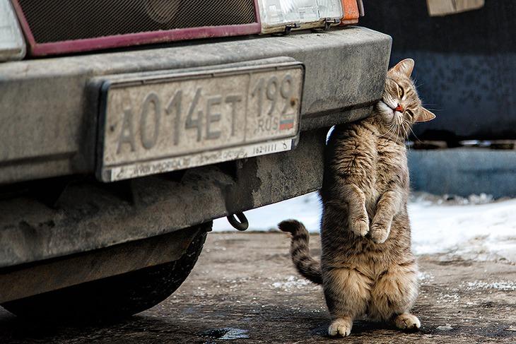 кот-домкрат