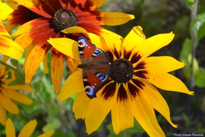 Рудбекия и бабочка