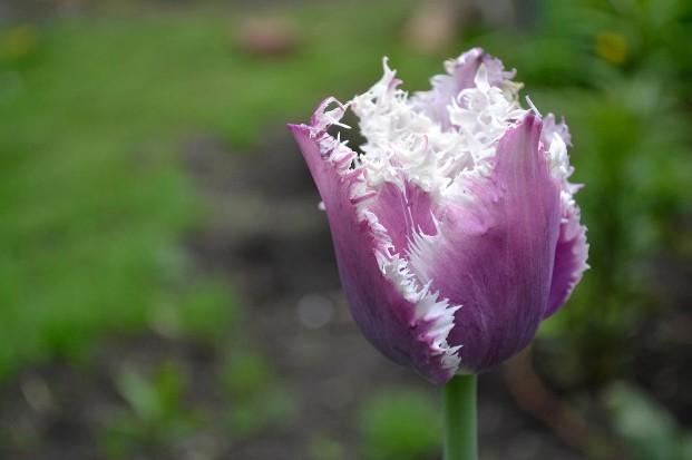 тюльпан-1