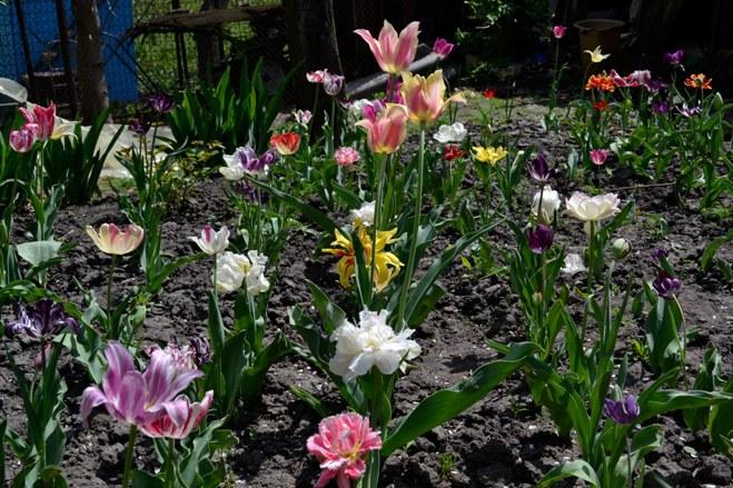 тюльпаны-2