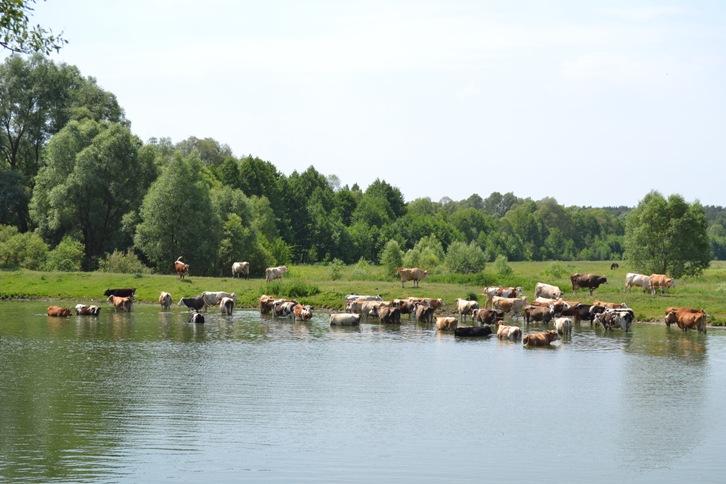коровы молочная река_0244