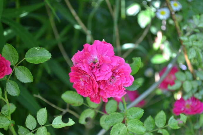 роза_0279- жж