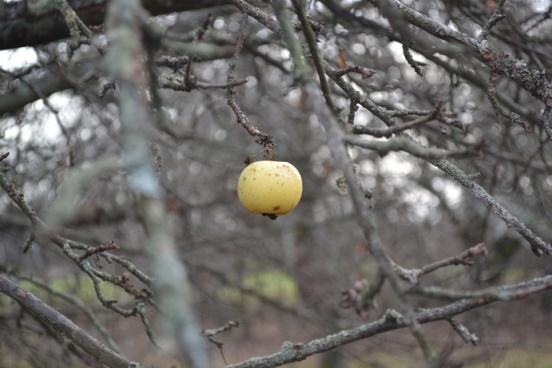 яблоко-жж_0832