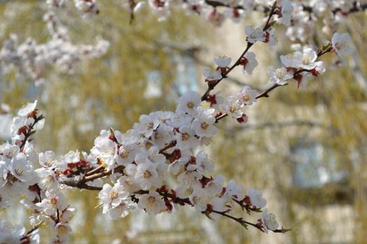 цвет абрикос_0541