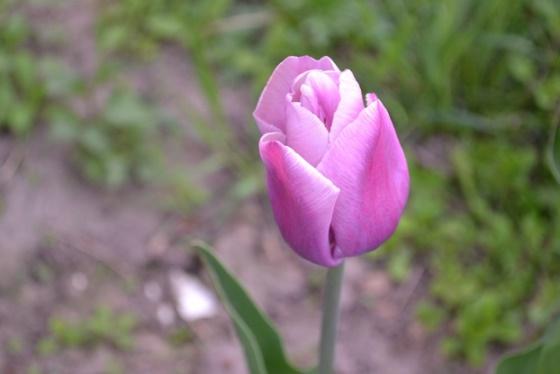 тюльпан_0783-жж