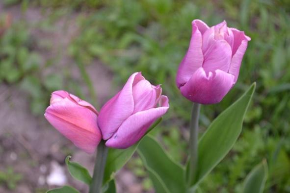 тюльпан_0784-жж