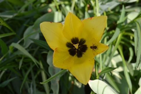 тюльпан пчела_0810
