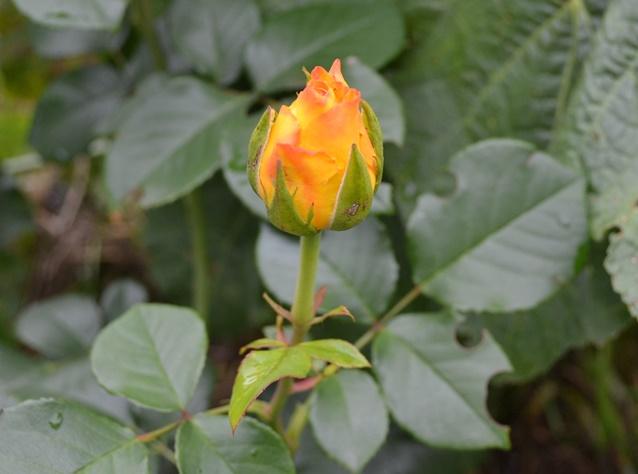 роза Лариса_0204