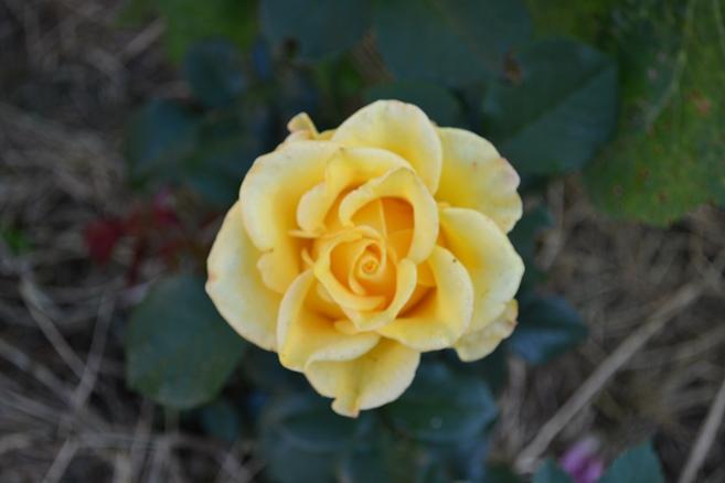 роза_0224