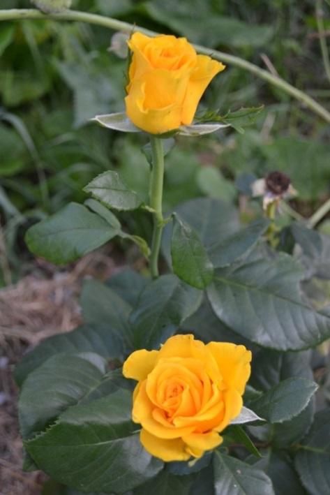 роза лариса_0471