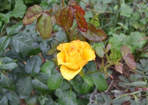 роза_0551
