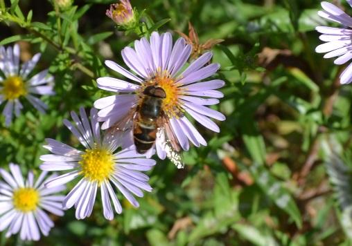 пчела_0910