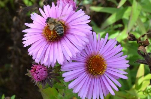 пчела_0914